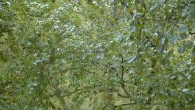 De zomerregen, natte bladeren van de bomen stock video