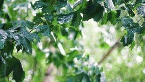 De zomerregen onder esdoornbomen stock videobeelden