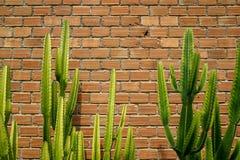 De de zomerscène van ruwe oranje bakstenen muur en de grijze mortierachtergrond met mooie verse heldergroene cactus verlaten inst Stock Foto's