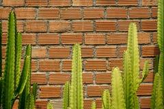 De de zomerscène van ruwe oranje bakstenen muur en mortierachtergrond met mooie verse groene cactus verlaat installatie Stock Foto