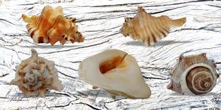 De zomershells witte Houten Bannerachtergrond royalty-vrije stock foto