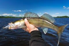 De zomersnoekbaarzen visserijtrofee Royalty-vrije Stock Afbeelding