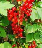 De zomerstruik met rijpe bessen van een rode aalbes Vers redcurrant fruit in de tuin Stock Foto
