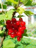 De zomerstruik met rijpe bessen van een rode aalbes Vers redcurrant fruit in de tuin Stock Fotografie