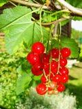 De zomerstruik met rijpe bessen van een rode aalbes Vers redcurrant fruit in de tuin Stock Afbeelding