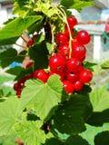 De zomerstruik met rijpe bessen van een rode aalbes Vers redcurrant fruit in de tuin Royalty-vrije Stock Foto