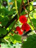 De zomerstruik met rijpe bessen van een rode aalbes Vers redcurrant fruit in de tuin Royalty-vrije Stock Afbeeldingen