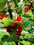 De zomerstruik met rijpe bessen van een rode aalbes Vers redcurrant fruit in de tuin Stock Afbeeldingen