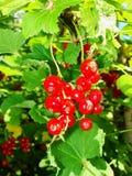 De zomerstruik met rijpe bessen van een rode aalbes Vers redcurrant fruit in de tuin Royalty-vrije Stock Fotografie