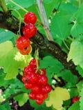 De zomerstruik met rijpe bessen van een rode aalbes Vers redcurrant fruit in de tuin Stock Foto's