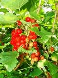 De zomerstruik met rijpe bessen van een rode aalbes Vers redcurrant fruit in de tuin Royalty-vrije Stock Foto's