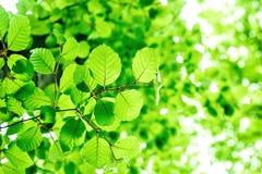 De zomertak met verse groene bladeren op de groene abstracte achtergronden Royalty-vrije Stock Foto