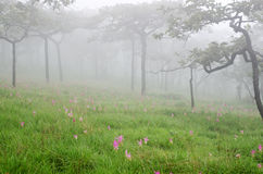 De zomertulpvan SiamtuliporÂ; Kurkumaalismatifolia royalty-vrije stock fotografie