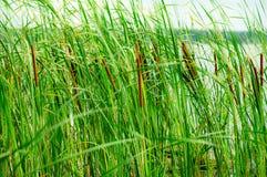 De zomervijver met vegetatie en een riet Royalty-vrije Stock Afbeelding