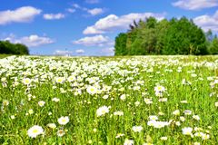 De zomerweide met heel wat madeliefjes en blauwe hemel stock foto