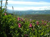 De zomerweide met roze bloemen in zonnig weer Stock Afbeeldingen