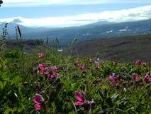 De zomerweide met roze bloemen in zonnig weer Stock Foto's