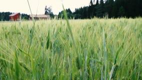De zomerwind op gebied op tarwe stock footage