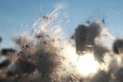 De zomerwind op het gebied De de pluizige bloemen en zaden, blazen de wind stock foto's