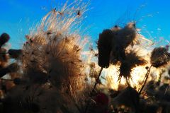 De zomerwind op het gebied De de pluizige bloemen en zaden, blazen de wind stock afbeeldingen