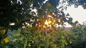 De zomerzon die door Luifel van Boom glanzen Zonlicht in Vergankelijk Bos, de Zomeraard in Zonsopgangtijd stock videobeelden