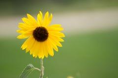 De zomerzonnebloem Stock Foto's