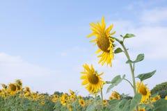 De zomerzonnebloemen stock foto's