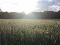 De zomerzonsondergang op het roggegebied Stock Foto