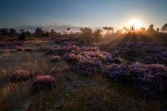 De zomerzonsopgang over roze heidebloemen Royalty-vrije Stock Foto's