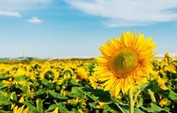 De zon bloeit gebied Stock Foto