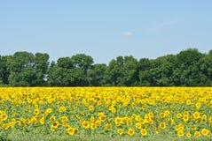 De zon bloeit gebied in de Oekraïne Stock Fotografie