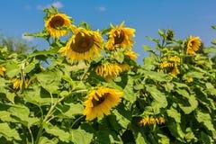 De zon bloeit gebied in de zonnebloemen van de Oekraïne stock afbeelding