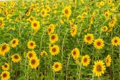 De zon bloeit gebied in de zonnebloemen van de Oekraïne Stock Fotografie