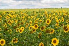 De zon bloeit gebied in de zonnebloemen van de Oekraïne Stock Afbeeldingen