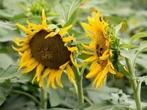 De zon bloeit gebieden in tuin Stock Foto's