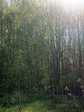 De zon in de takken Royalty-vrije Stock Foto's