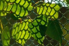 De zon die door het uitstralen van groene bladeren glanzen Groene bladeren met gevormde schaduw van het rooster royalty-vrije stock foto