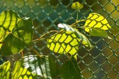De zon die door het uitstralen van groene bladeren glanzen Groene bladeren met gevormde schaduw van het rooster stock foto