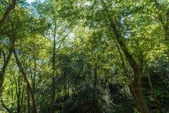 De zon die prachtig groene treetops van lange boom verlichten Royalty-vrije Stock Afbeeldingen