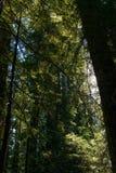 De zon die tussen de takken van de bomen in de Weg van de Reuzen overgaan, Californië, de V.S. stock foto's