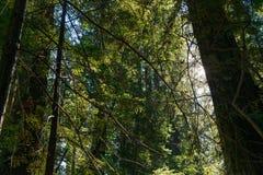 De zon die tussen de takken van de bomen in de Weg van de Reuzen overgaan, Californië, de V.S. stock foto