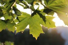 De zon door de bladeren Stock Afbeeldingen