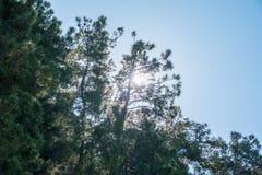 De zon door de pijnboom vertakt zich in de duidelijke hemel royalty-vrije stock fotografie
