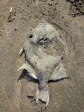 In de zon gedroogde Vissen die op het Strand in Mazatlan rotten Royalty-vrije Stock Afbeeldingen