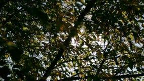 De zon glanst door de takken van het boomclose-up stock video