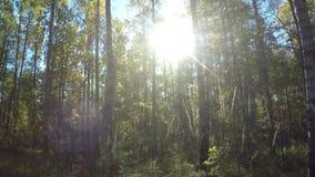 De zon glanst door gebladerte van bomen in de zomerhout stock video