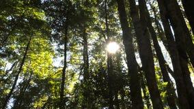 De zon glanst door de luifel van de gematigde bomen van de regenwoudbeuk stock video
