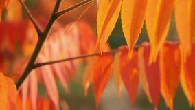 De zon glanst door de oranje bladeren stock video