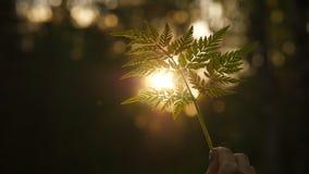 De zon glanst door varenblad stock video