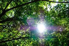 De zon glanst warm door de luifel van bomen in het hout Stock Afbeeldingen